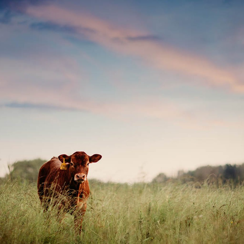 What Breed of Cattle - Norpac Beef